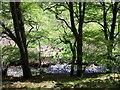 SN1641 : Beech trees along Afon Piliau by ceridwen