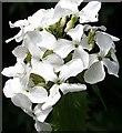 NJ2156 : White Honesty (Lunaria annua) by Anne Burgess