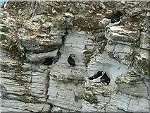 TA1974 : Puffins and Razorbills, Bempton Cliffs by Rich Tea