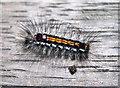 SJ7965 : Yellow-tail Moth caterpillar by Jonathan Kington