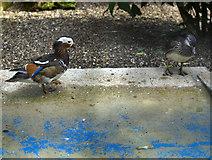 TA0729 : West park ducks, Hull by Paul Harrop