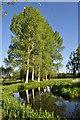 TF9924 : Large Poplars next to Bintree Mill by Ashley Dace