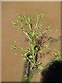 SJ7964 : Celery-leaved Buttercup by Jonathan Kington