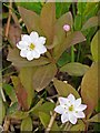 NT9637 : Chickweed wintergreen (Trientalis europaea) by Andrew Curtis