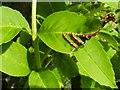 NS3976 : Leaf gall on ash by Lairich Rig