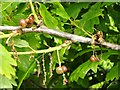 NS3779 : Currant galls on oak by Lairich Rig
