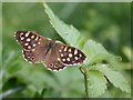 SP1654 : Speckled Wood Butterfly by David P Howard