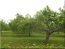 TQ8833 : Orchard near Tenterden by David Anstiss