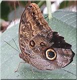TQ1877 : Owl butterfly in Kew glasshouse by David Hawgood