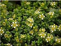 NU1535 : Sea Sandwort (Honkenya peploides), Budle Bay by Andrew Curtis
