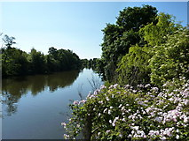 SX9291 : Wild Rose, River Exe by Tom Jolliffe