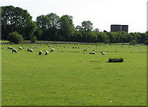 SP9599 : Barrowden: sheep on the water meadows by John Sutton