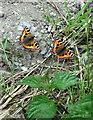 SM9633 : Small tortoiseshell butterflies with nettle by ceridwen