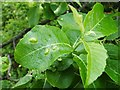 NS3976 : Leaf galls on goat willow by Lairich Rig