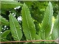 NS3878 : Leaf galls on rowan by Lairich Rig