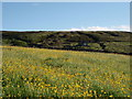 NY8045 : Buttercups  Coalcleugh by Roger Morris
