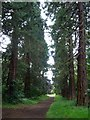 NT3669 : Giant redwoods avenue on the Carberry Estate by kim traynor