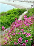 SY6873 : Footpath and Red Valerian - Portland by Sarah Smith