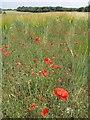 ST9007 : Poppies near  Snows Down by Derek Harper
