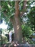 SZ0095 : Old Oak in Broadstone by John Palmer