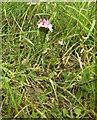 SJ7965 : Common Centaury (Centaurium erythraea) by Jonathan Kington
