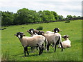 NY7058 : Shorn Swaledales near Burn House by Mike Quinn