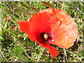 TM3673 : Poppy on Peasenhall Road by Geographer