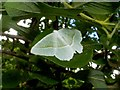 NS4373 : A moth: Light Emerald (Campaea margaritata) by Lairich Rig