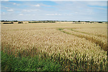 TR2854 : Wheat Field off Herondon Road by Oast House Archive