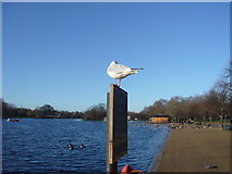 TQ2780 : Seagull at the Serpentine at Hyde Park by Dave Hunt