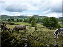 SK1582 : Cattle grazing at Castleton by Peter Barr