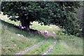 NN8831 : Sheep under tree by Colin Kinnear