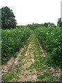SU7556 : Glen Ample raspberry canes by Given Up
