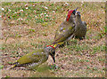 TQ2995 : Green Woodpecker (Picus viridis) by Christine Matthews