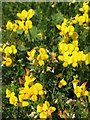 NY9342 : Bird's foot trefoil by Mike Quinn