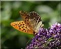 SX8078 : Butterfly near Parke Bridge by Derek Harper