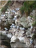 NU2231 : Kittiwakes on the cliffs above Braidcarr Rocks by Oliver Dixon