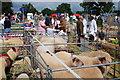 SO6286 : Livestock at the Burwarton Show by Dave Croker