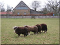 SO3816 : Sheep near White Castle by Gareth James