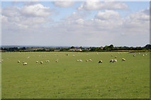 SK7528 : Sheep pasture in the Vale of Belvoir by Kate Jewell