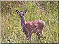 NG6818 : Bambi by Richard Dorrell