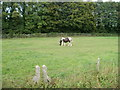 ST4588 : Horse grazing in a field, Rogiet by Jaggery