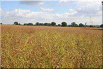 SK7627 : Linseed crop ready for harvesting by Kate Jewell