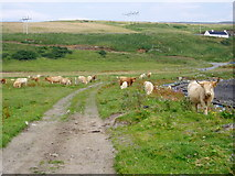 NG2260 : Cattle on the path, Ardmore Point, Isle of Skye, Highland by Graham Hogg