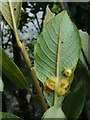 NS3977 : Leaf galls on grey willow by Lairich Rig