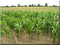 SE7643 : Maize field, Scamland by JThomas