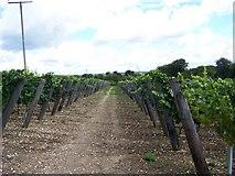 SU6415 : Hambledon Vineyard by Margaret Sutton