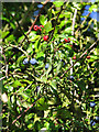 TM1095 : Blackthorn and hawthorn berries by Evelyn Simak