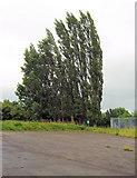 SJ8958 : Aspens behind the car-park by Jonathan Kington