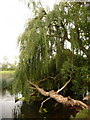SZ0995 : Redhill: willow overhanging the Stour by Chris Downer